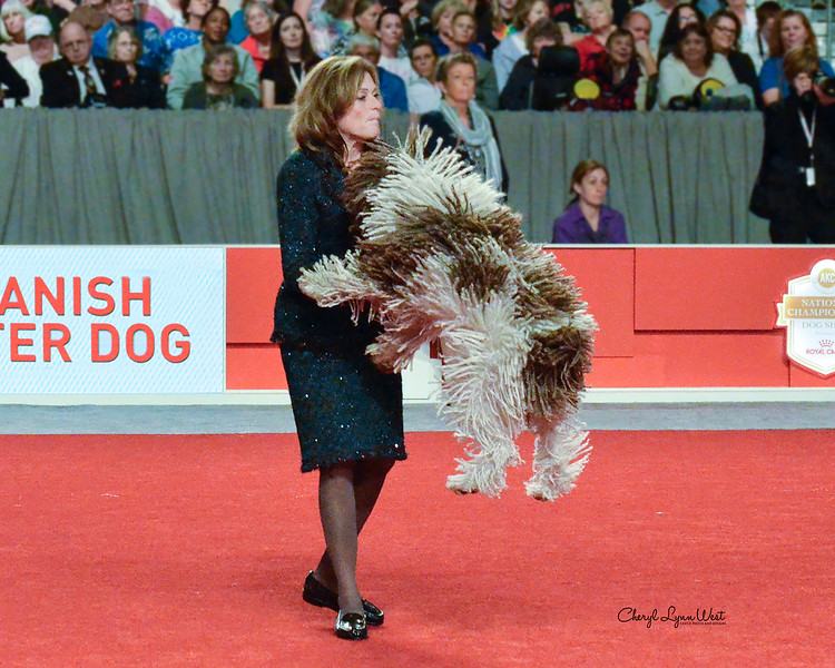 Spanish Water Dog - CH Eye Of The Tiger Wavelet