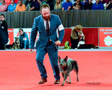 Australian Cattle Dog - GCHB CH Austlyn Country Girl Is Sassy