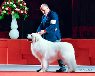 Great Pyrenees - GCH CH Tanimara's Awesome Irish Creme