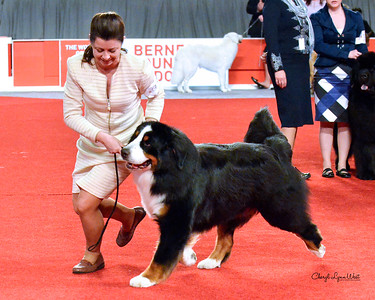 Bernese Mountain Dog - CH Von Engels Designated Driver From Indian Hill