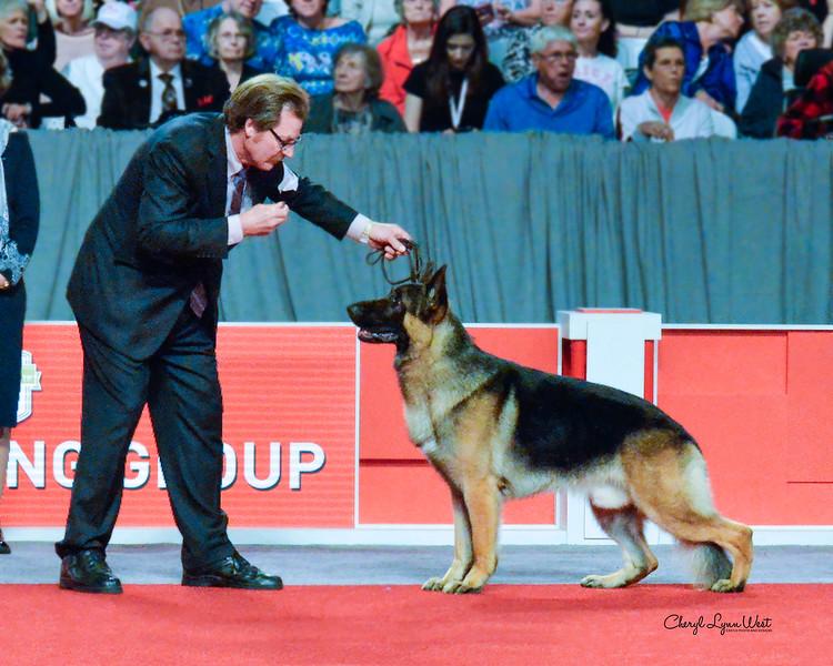 German Shepherd Dog - GCH CH Marquis' Hermes V Kenlyn - Herding Group 3