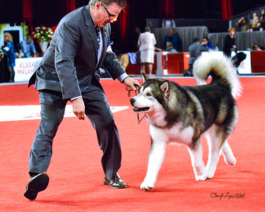 Alaskan Malamute - GCHG CH Taolanquest Flying Cloud - Working Group 1