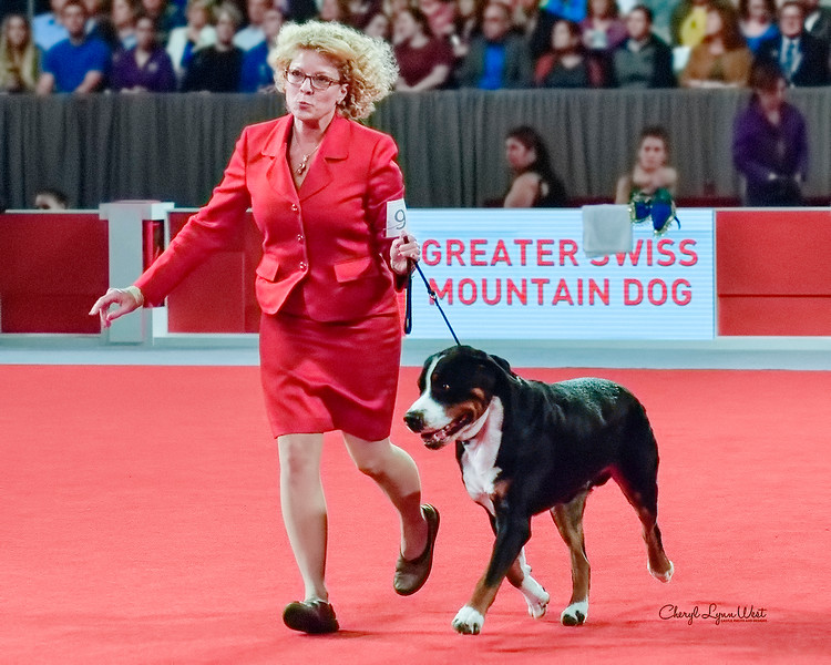 Greater Swiss Mountain Dog - GCHS CH Double Q's Spot On At Derby!