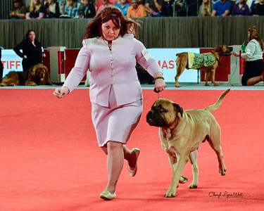 Bullmastiff - GCH CH Gaffle's Coach Of The Year
