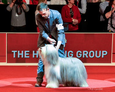 Bearded Collie - GCHS CH Highlander Macbean At Burlesque RN HT