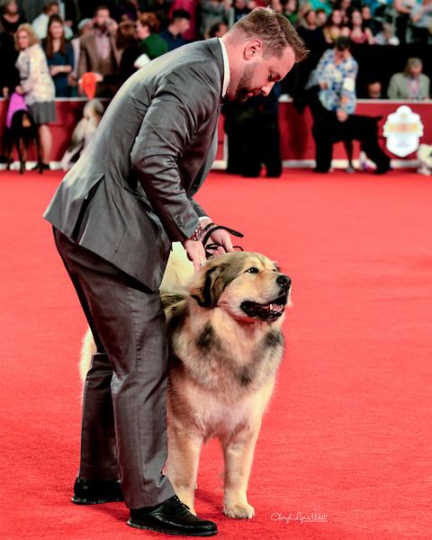 Tibetan Mastiff - GCHB CH Noble Legacy's Flawless Gem