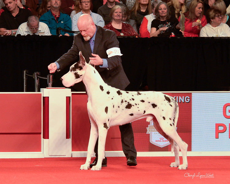 Great Dane - GCHS CH Tandt's Gmj's The Inimitable Doc Holliday