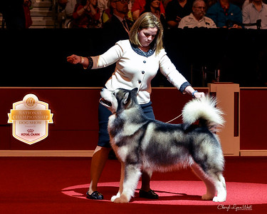 Alaskan Malamute - GCHG CH Onan House Of The Rising Sun