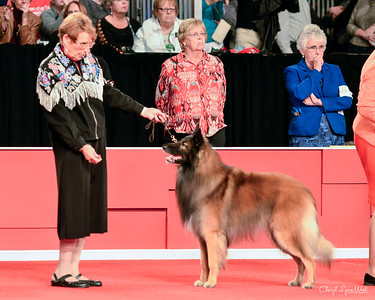Belgian Tervuren - GCHB CH Bilgay's The Big Easy
