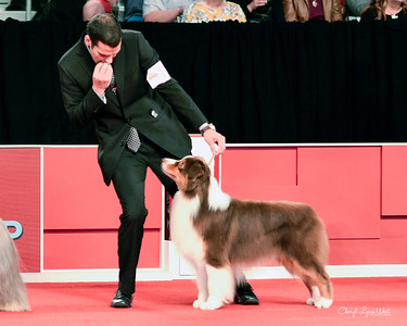 Australian Shepherd - GCHP CH Silverwood's Kiss Of Fire At Limelite - Herding Group 3