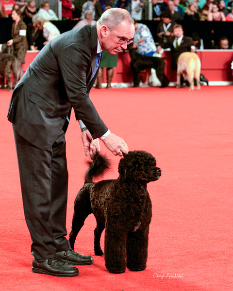 Portuguese Water Dog - GCH CH Pouch Cove Above It All