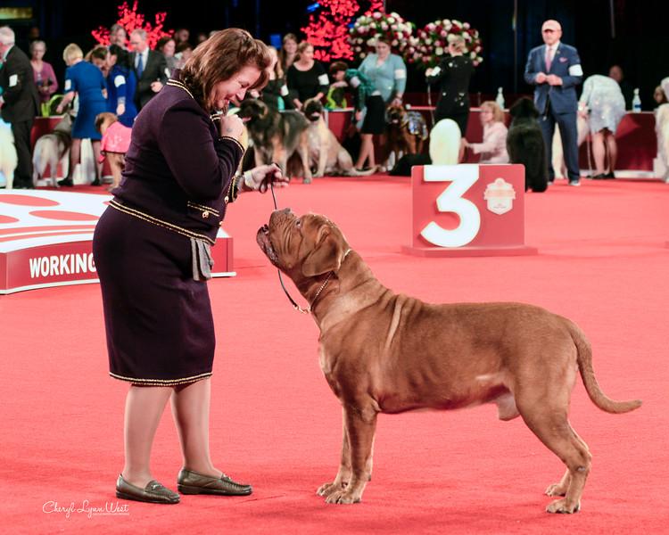 Dogue de Bordeaux - GCHB CH Camelot's A New Hope