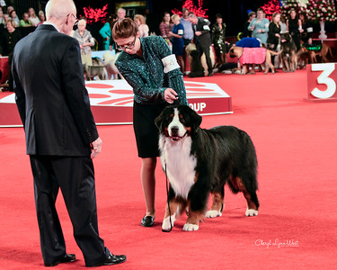 Bernese Mountain Dog - GCHS CH Von Engels Designated Driver From Indian Hill