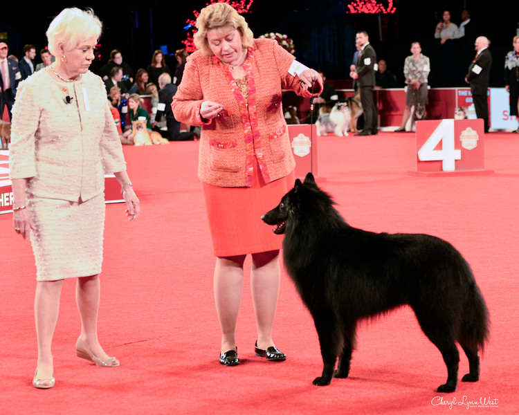 Belgian Sheepdog - GCHB CH Sarron International Success BN RI FDC CGC