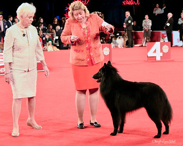 Belgian Sheepdog - GCHB CH Sarron International Success BN RI FDC CGC