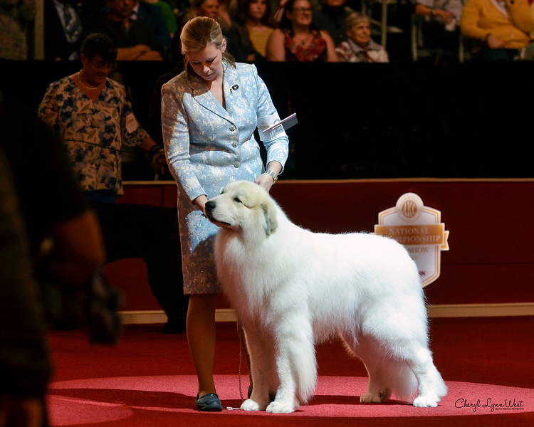 Great Pyrenees - GCHG CH Rivergroves The Name Of The Game