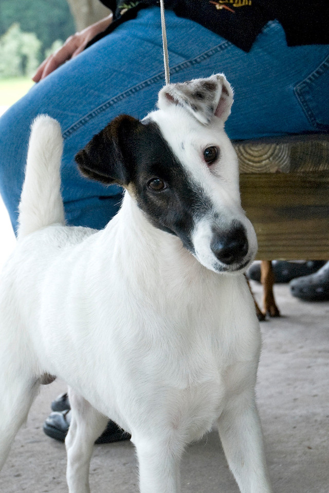 Argent Hobkirk Con Artist, Smooth Fox Terrier, is watching to that intense canine curiosity.