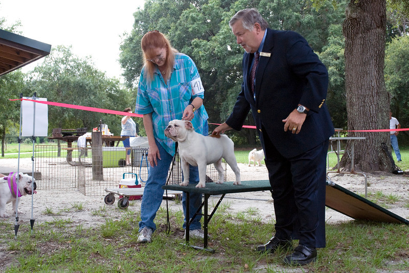 Judge Steward Wagner examines Dulcinea's Deim-Tasse, a Bulldog puppy bitch.
