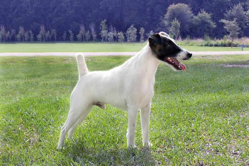 Argent Hobkirk Con Artist, Smooth Fox Terrier,  is owned by Jamie S. Hanson & Dr. Cindi Bossart