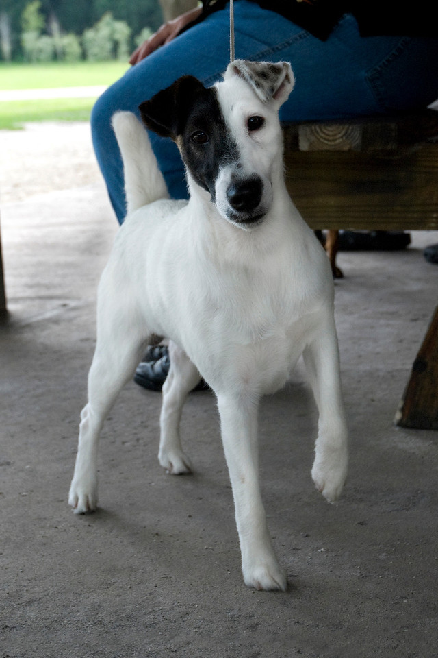 Argent Hobkirk Con Artist, Smooth Fox Terrier, is posed and ready to have some fun.