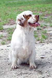 Casmir Ginger Snap, a Clumber Spaniel owned by Valerie Lovins, makes sure that the camera captures her best pose.