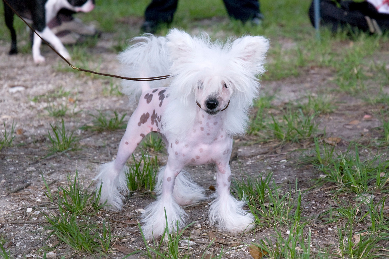Toby, a Hairless Chinese Crested, knows how to work the camera for the best pose.