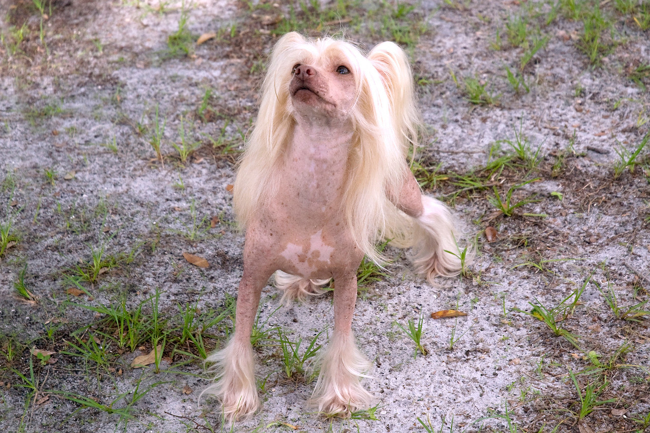 Gin-De's Party Girl HL, a Chinese Crested.