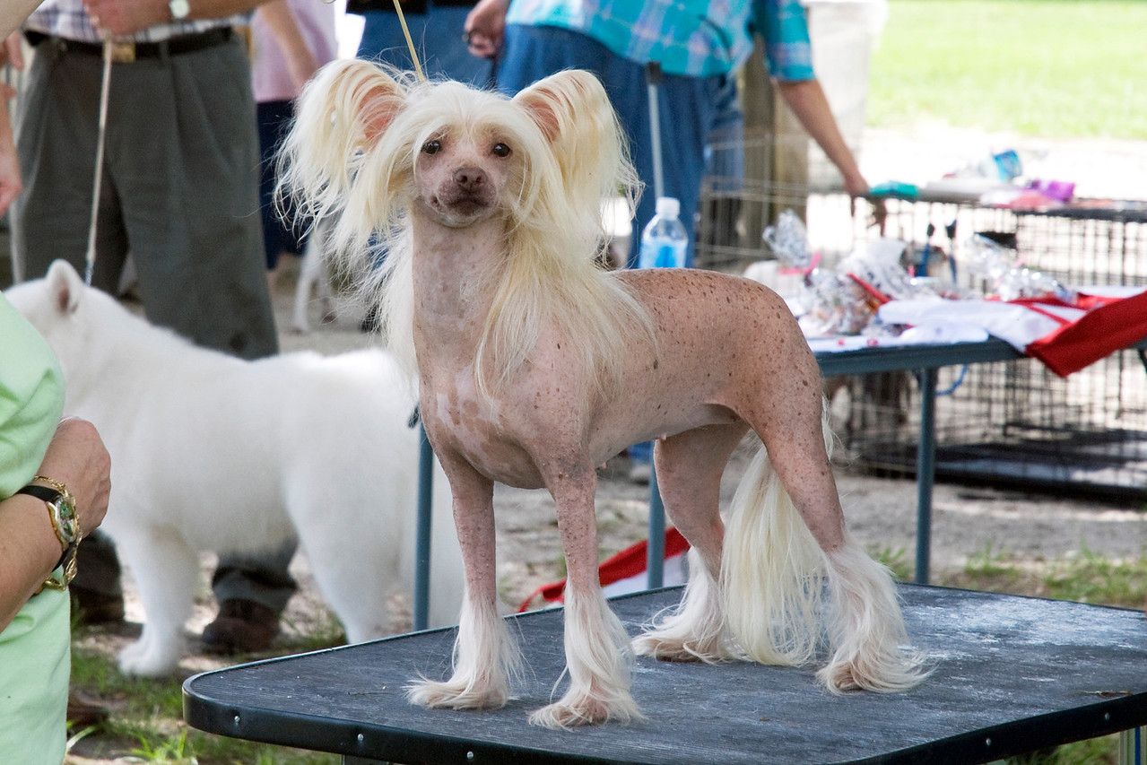 Gin-De's Party Girl HL, a Chinese Crested, competed in the Best in Match as the Tpy Group 1 winner.