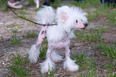 Toby, a Hairless Chinese Crested, keeps an eye on the competition.