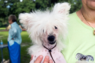 Toby shows off that classic Hairless Chinese Crested hairdo.
