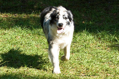 Call Me Payz To Be Pretty, a Border Collie, competed in the Bred By Exhibitor class.  She is owned by Cynthia Humphrey (breeder/handler) and Salena Wilson.