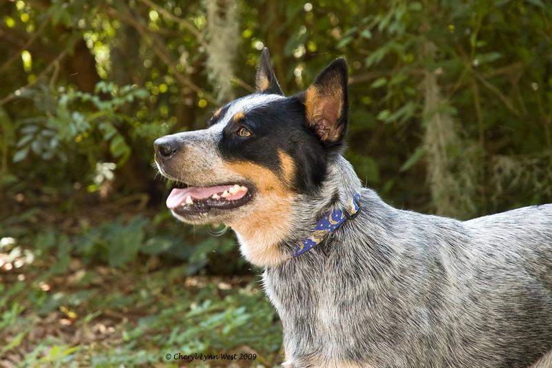 Boy Scout, Australian Cattle Dog