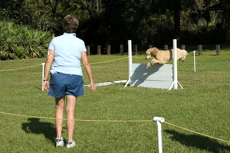 This Standard Poodle clears the high jump as part of the Utility obedience course.