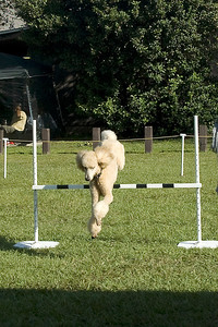This Standard Poodle is jumping the bar jump, in the Utility obedience competition.