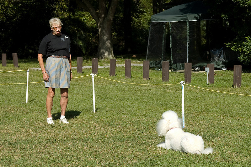 The Standard Poodle does the drop on recall in the Open obedience competition.