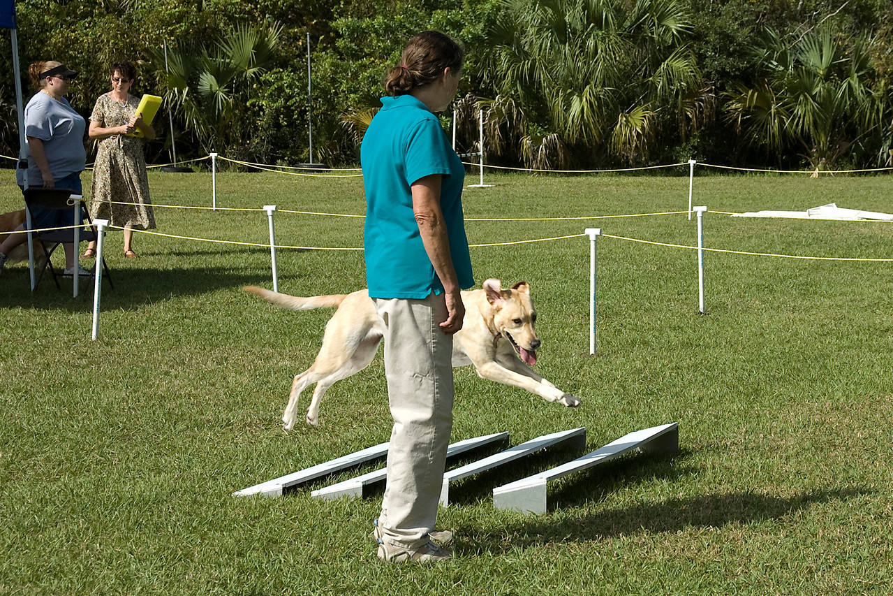 This Labrador Retriever performs the broad jump in Open obedience.