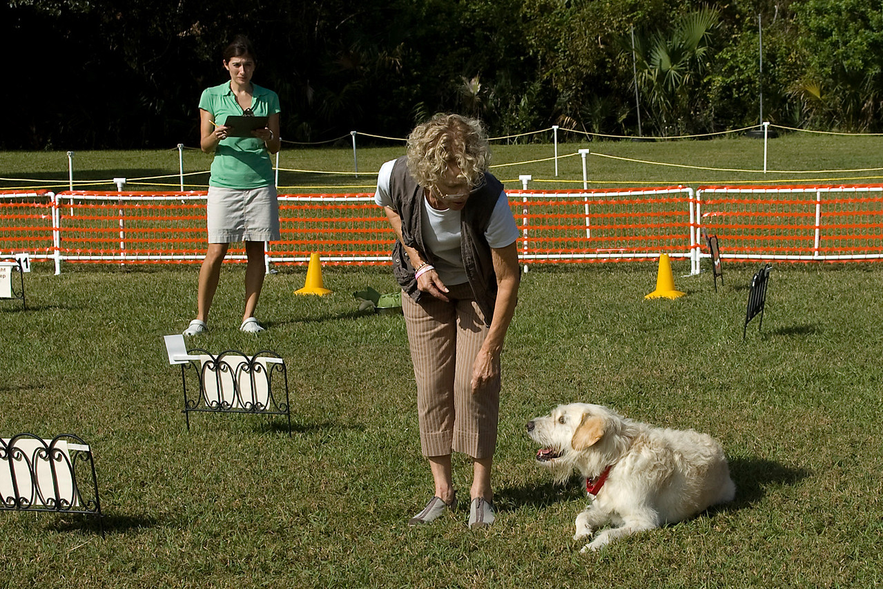 Mulligan, a Labradoodle,  downs on command during the Rally Advanced competition.