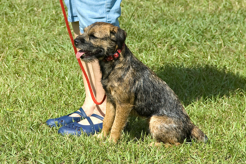 This Border Terrier competed in Sub-Novice, sitting in the proper heel position.