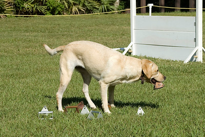 This Labrador Retriever competes in Utility, searching the articles for the one with her handler's scent.