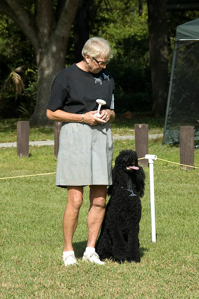 The handler has her Standard Poodle wait until she throws the dumbbell for the recall on the flat in Open obedience competition.
