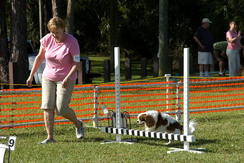 The Cavalier King Charles Spaniel jumps over the bar jump on the Rally Advanced course.