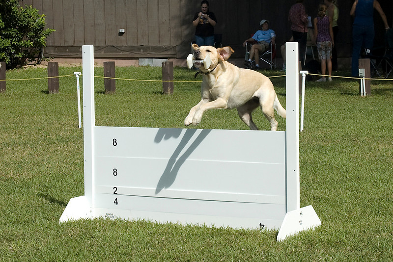 This Labrador Retriever competes the retrieve over the high jump in Open obedience.