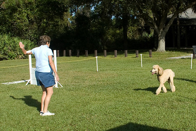 The Standard Poodle performs the hand signals in Utility obedience.