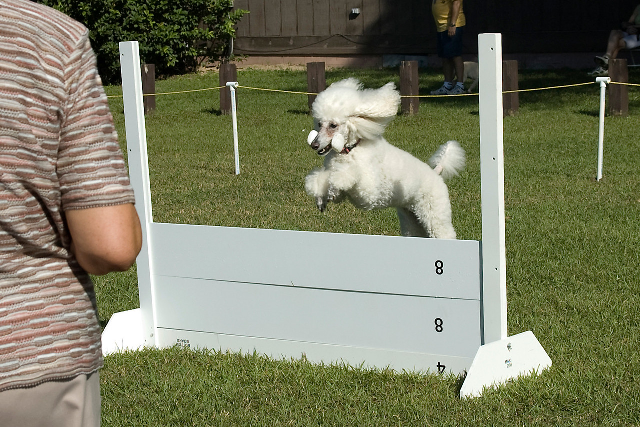 The Standard Poodle performs the retrieve over the high jump in the Open obedience competition.