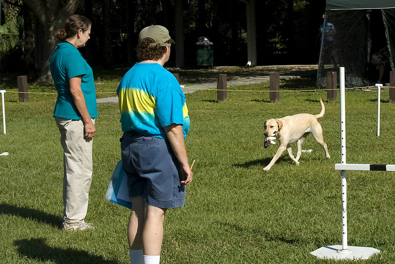 This Labrador Retriever brings back the glove in the glove exercise in Utility.