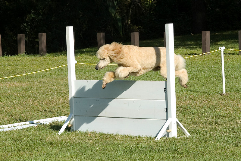 After the bar jump, the Standard Poodle goes over the high jump, in the Utility obedience competition.