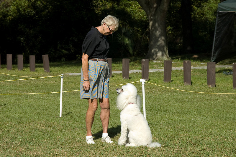This Standard Poodle sits in front of its handler after completing the drop on recall exercise in the Open obedience competition.