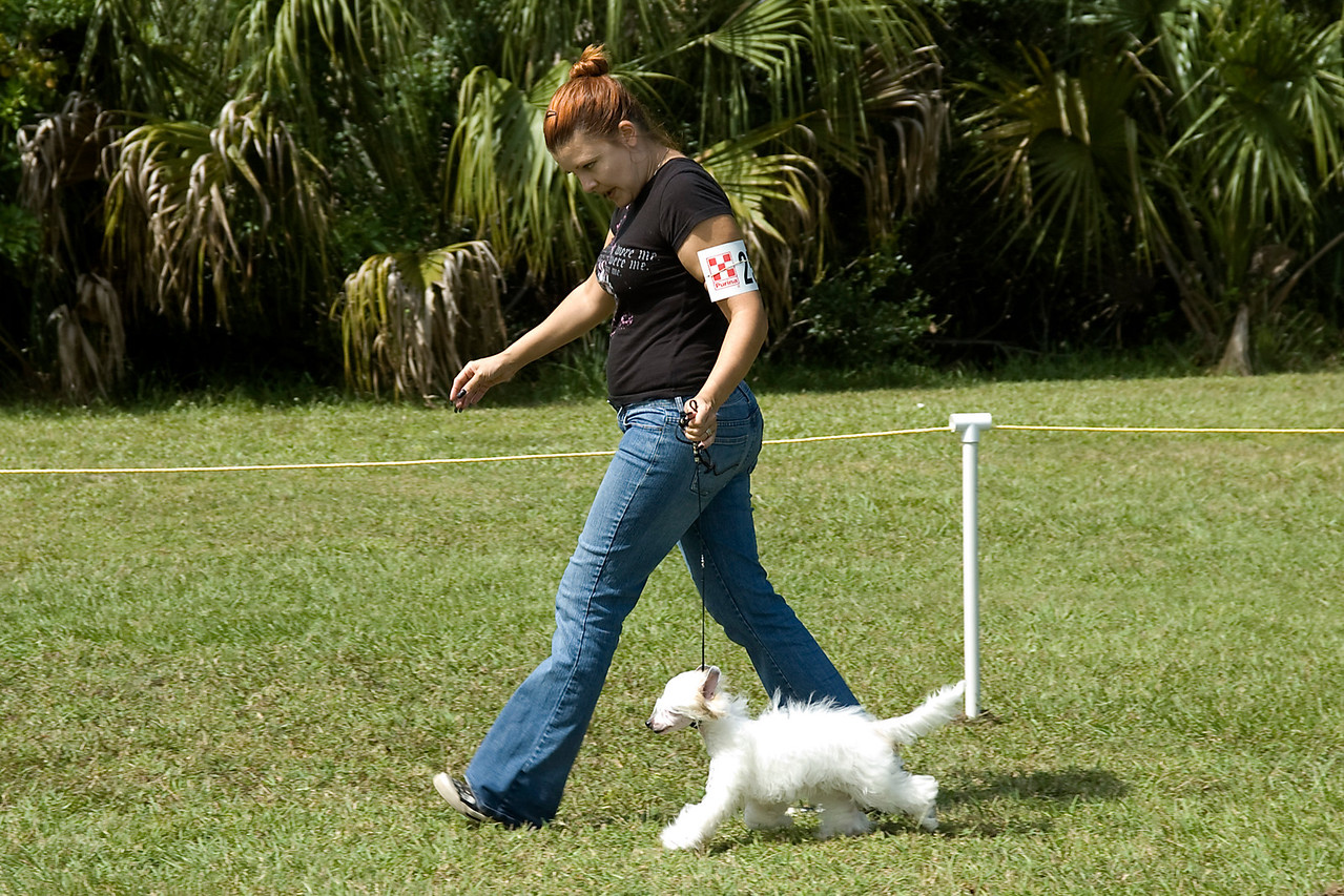 Couture's Our Elaborate Plans is a Powder Puff Chinese Crested. Seidye shows great extension and movement while competing in 6-9 month Puppy in Conformation.