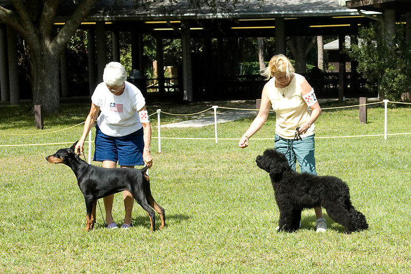Doberman Pinscher and Portugese Water Dog compete in the Puppy Working Group.