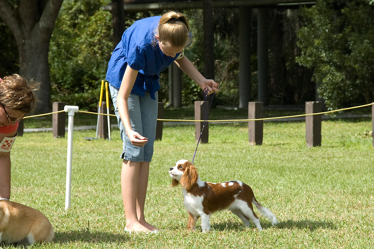 This Cavalier King Charles Spaniel won its Breed, Toy Group and went onto compete for Best In Match Junior Puppy.